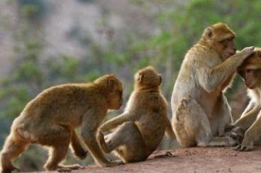 Maroc : Le braconnage menace la survie du singe Magot