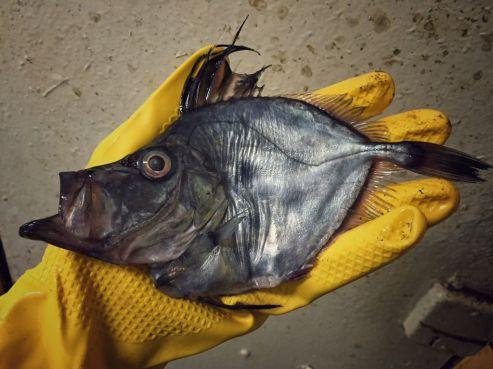 Poisson trouvé en eaux marocaines. / Ph. @rfedortsov
