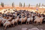 Aïd Al Adha 1440 : L'opération d'abattage dans «de bonnes conditions», selon l'Agriculture