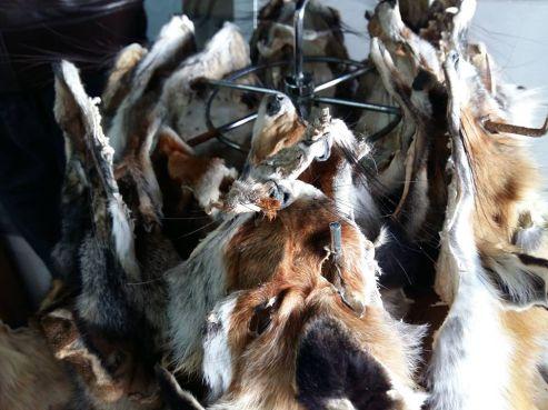 Peaux de renards en vente à l'entrée d'un bazar au centre-ville d'Agadir, lundi 29 février 2016. Photo/Reda Taoujni