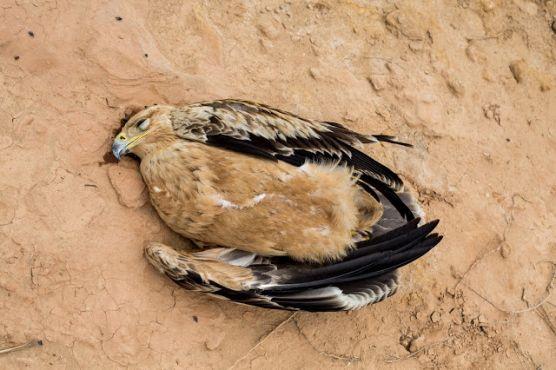 Un aigle impérial ibérique électrocuté, découvert le 22 octobre. Photo / Moroccan Birds / Ali Irizi
