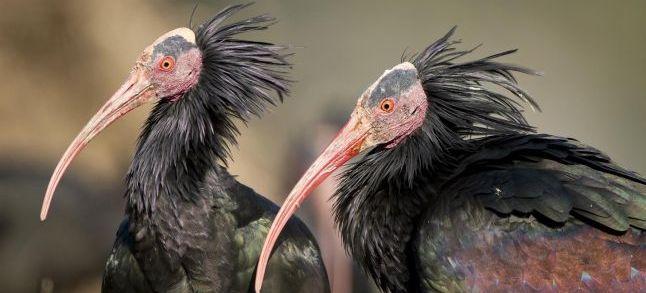 L'ibis chauve, espèce menacée, voit sa population augmenter au Maroc