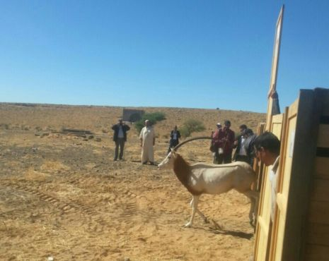 Tinghir : 20 oryx réintroduit en milieu sauvage
