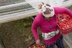 Coronavirus : Les immigrés marocains pour sauver la saison agricole en Espagne ?