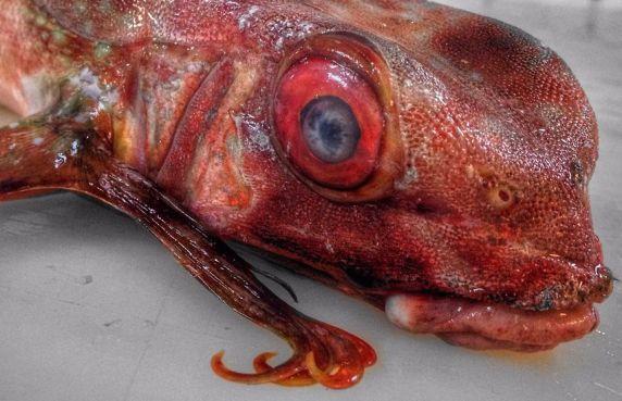 Un poisson-volant capturé dans les eaux commerciales marocaine. / Ph. Roman Fedortsov