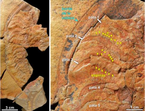 Un fossile de trilobite découvert près de Zagora. / Ph. Juan Carlos Gutiérrez-Marco