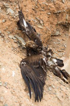 Un aigle royal électrocuté, découvert le 22 octobre.   Photo /  Moroccan Birds / Ali Irizi