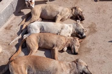 Poisoning of stray dogs strikes again in Morocco