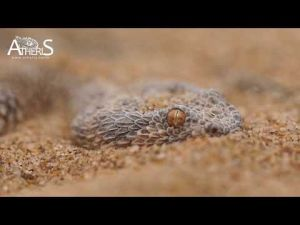 Cerastes Vipera : A viper that lives in the Moroccan Sahara