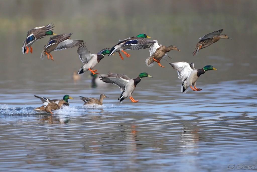 Les canards font de Bab Louta leur havre de paix / Ph. DR.